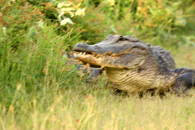 An American alligator (Alligator mississippiensis) turning around (2009_05_16_018628)
