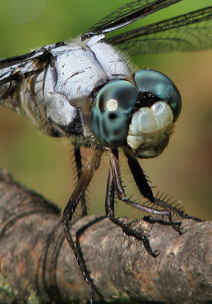 Close-up of a male great blue skimmer (Libellula vibrans) (20080824_11457_c)