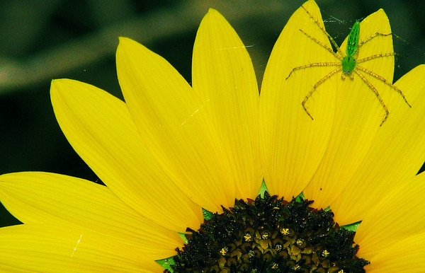 A female green lynx spider (Peucetia viridans) perched on the petals of a plains sunflower (a.k.a. petioled sunflower or prairie sunflower; Helianthus petiolaris) (20080704_09121)