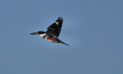 Female belted kingfisher (Megaceryle alcyon) in flight (2009_09_26_029140)