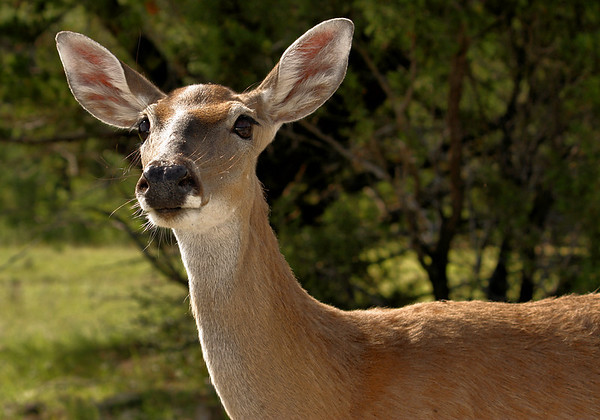 Close-up of a female white-tailed deer (Odocoileus virginianus) standing in bright sunshine (2009_05_22_020080)