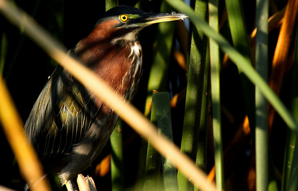 A green heron (Butorides virescens) standing in a prison of reeds (2009_08_22_028525)