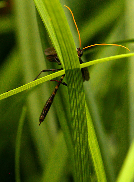 An ichneumon wasp (Thyreodon atricolor) peeking at me from behind crossed blades of grass (2009_07_07_026159)