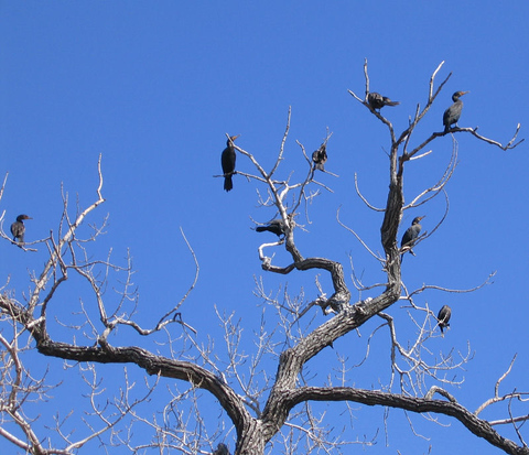 Double-crested cormorants (Phalacrocorax auritus) resting in the top of a tree near shore