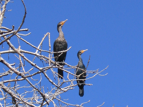 Two double-crested cormorants (Phalacrocorax auritus) perched on a limb