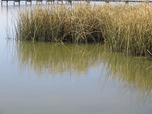 Reeds sitting idle in motionless water