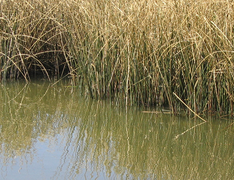 A close-up of reeds nestled in calm water