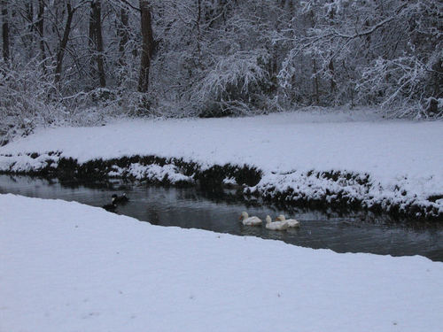Ducks swimming along a snow-flanked creek meandering into the woods