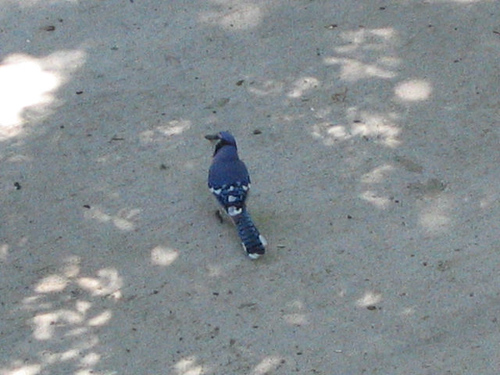 A male blue jay (Cyanocitta cristata) standing on the sidewalk (134_3432)