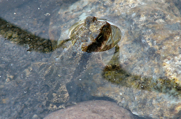 A Rocky Mountain toad (a.k.a. western Woodhouse's toad; Bufo woodhousii woodhousii) hiding in a shallow stream (20080727_10229)