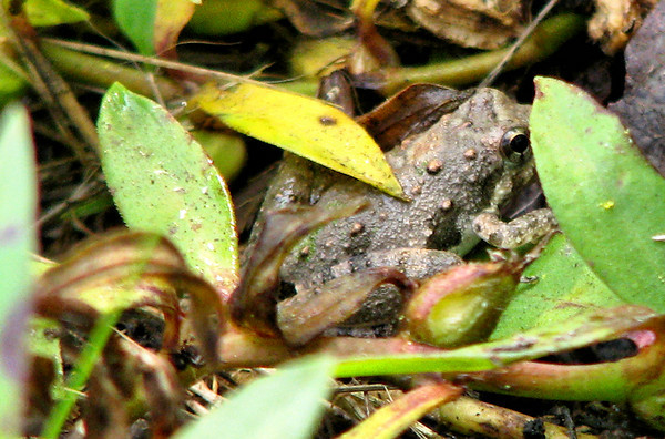 A northern cricket frog (Acris crepitans) hiding in the grass (20080921_12719)