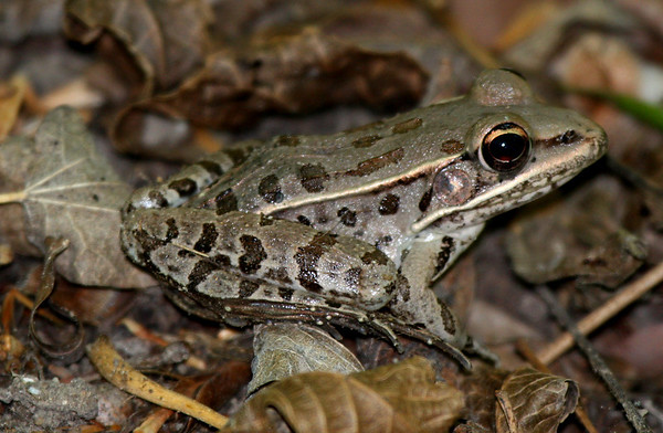 A southern leopard frog (Rana sphenocephala) sitting beneath some bushes (2009_04_16_015463)