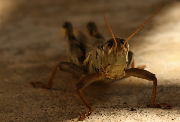 A male differential grasshopper (Melanoplus differentialis) standing in shadows (2009_10_02_029945)