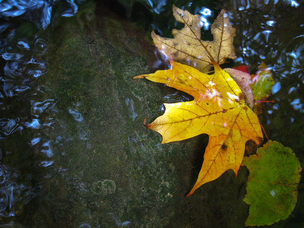 yellow, maple leaf, in water