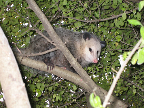 A juvenile Virginia opossum (Didelphis virginiana) hiding in the tree (167_6744)
