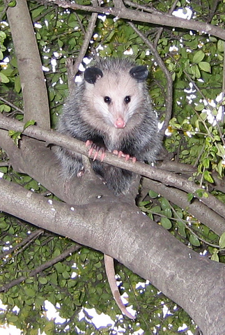 A juvenile Virginia opossum (Didelphis virginiana) hiding in the tree (167_6771)