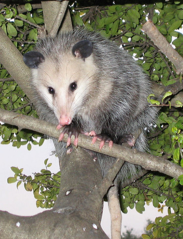 A juvenile Virginia opossum (Didelphis virginiana) hiding in the tree (167_6765)