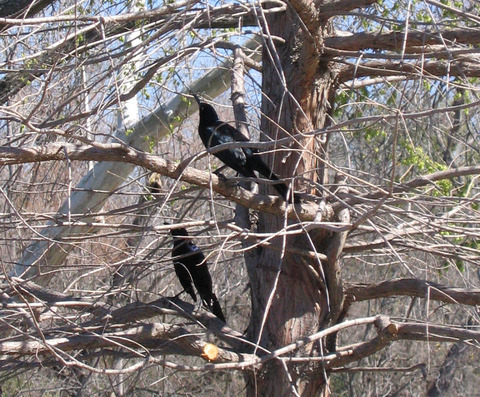 Two male great-tailed grackles (Quiscalus mexicanus) perched in a tree (173_7398)