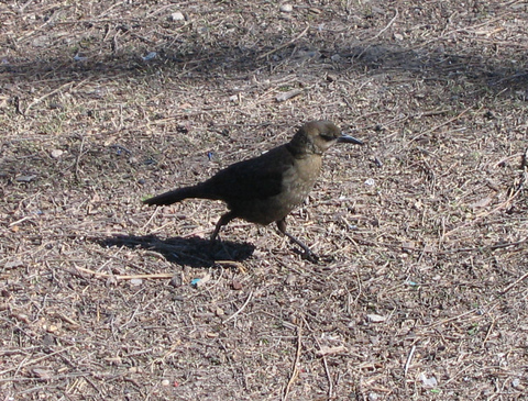A female great-tailed grackle (Quiscalus mexicanus) jogging about looking for breakfast (173_7400)