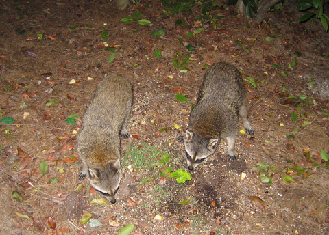 Two raccoons (Procyon lotor) foraging near the patio fence (150_5011)