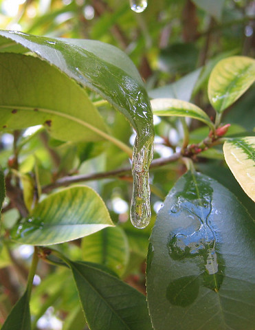 An icicle hanging from one of the photinia leaves (166_6653)
