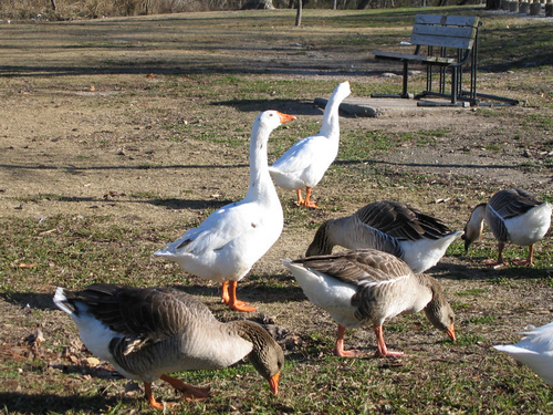 Domestic swan geese (Anser cygnoides) and domestic greylag geese (Anser anser) foraging nearby (164_6442)