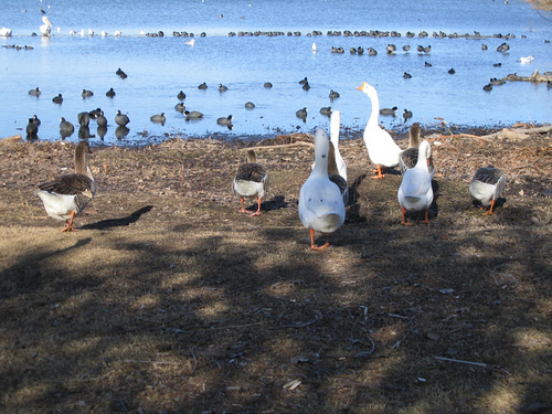 Domestic swan geese (Anser cygnoides) and domestic greylag geese (Anser anser) heading back to the lake (164_6451)