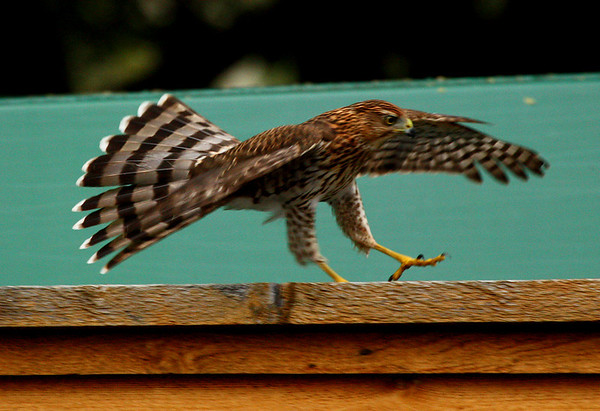 A juvenile Cooper's hawk (Accipiter cooperii) spreading its wings to help it stop as it runs along a fence (2009_10_12_031532)