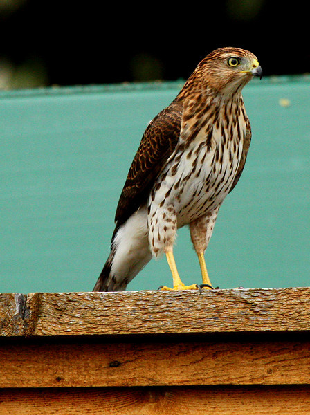 A juvenile Cooper's hawk (Accipiter cooperii) standing on a fence (2009_10_12_031533)