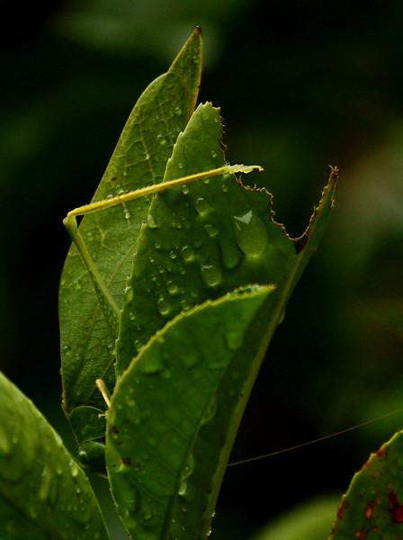 A male lesser angle-winged katydids (a.k.a. angular-winged katydid; Microcentrum retinerve) hanging upside-down on a wet photinia bush (2009_10_13_031557)