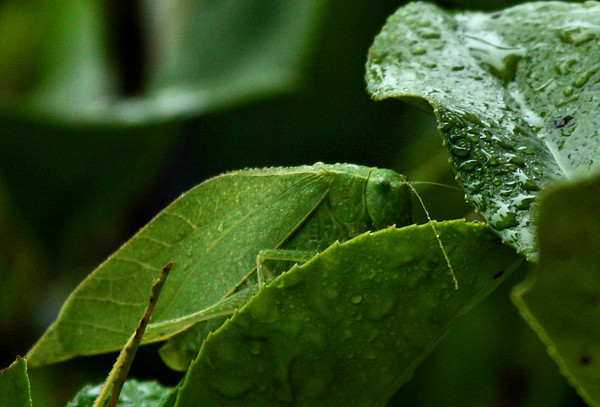 A female lesser angle-winged katydids (a.k.a. angular-winged katydid; Microcentrum retinerve) perched atop wet leaves (2009_10_14_031577)