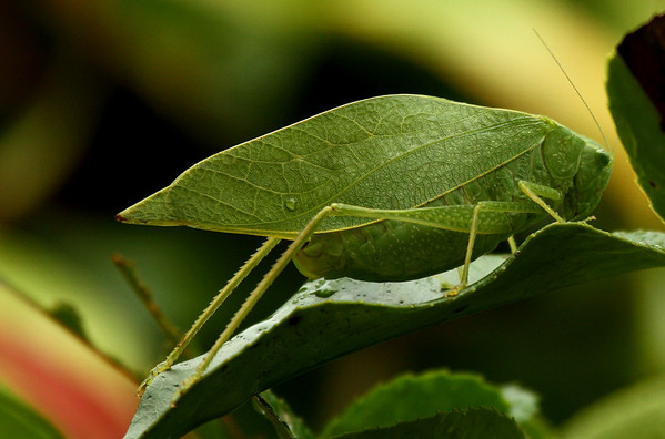 A female lesser angle-winged katydids (a.k.a. angular-winged katydid; Microcentrum retinerve) standing atop a photinia leaf (2009_10_14_031584)