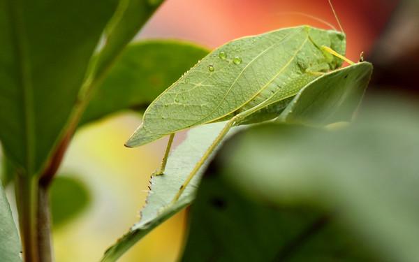 A male lesser angle-winged katydids (a.k.a. angular-winged katydid; Microcentrum retinerve) climbing a leaf (2009_10_14_031641)