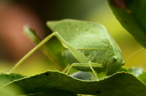 A female lesser angle-winged katydids (a.k.a. angular-winged katydid; Microcentrum retinerve) standing on a photinia leaf (2009_10_14_031670)