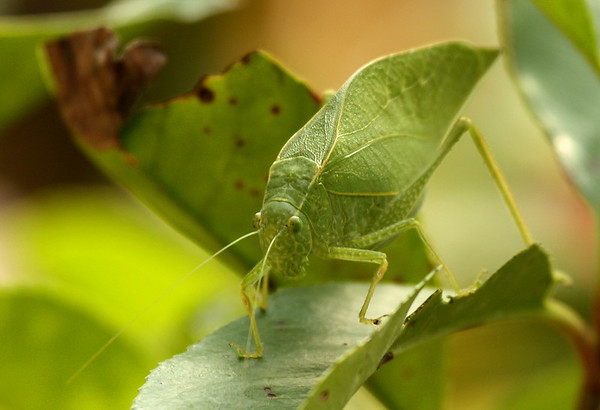 A female lesser angle-winged katydids (a.k.a. angular-winged katydid; Microcentrum retinerve) perched on a photinia leaf (2009_10_14_031678)