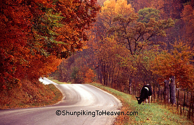 Fall Escape, Holstein That Jumped the Fence, Vernon County, Wisconsin