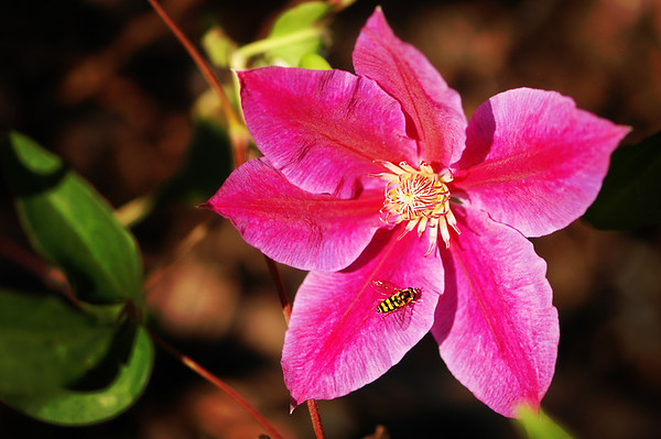 Pink Clematis 'H.F. Young' - by photographer Cynthia Utterback, Inspiring Designs Photography