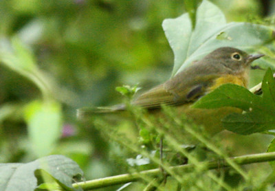 A female Nashville warbler (Vermivora ruficapilla) moving through the bushes (2009_10_10_031108)