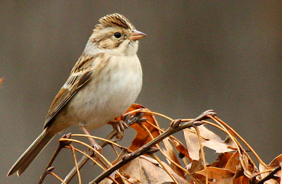 An adult clay-colored sparrow (Spizella pallida) perched on small branches (2009_10_10_031491)