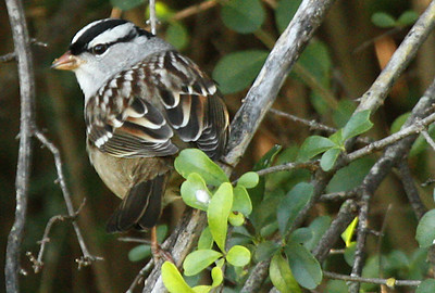A white-crowned sparrow (Zonotrichia leucophrys) perched in a bush (2009_10_17_031835)