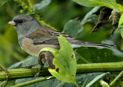 A juvenile female dark-eyed junco (Junco hyemalis) perched in a bush (2009_10_17_032019)