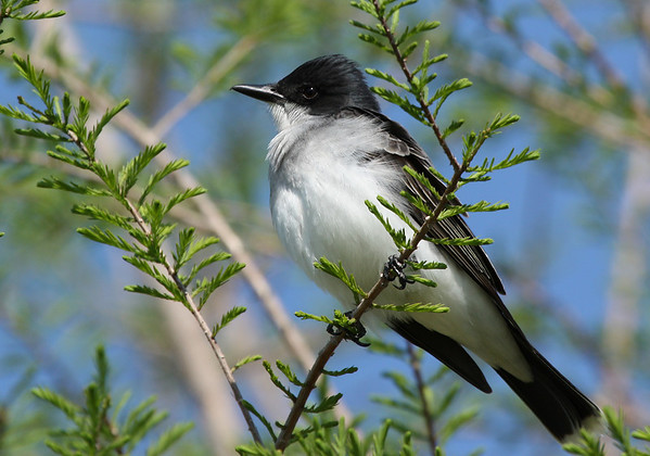 An Eastern kingbird (Tyrannus tyrannus) perched in a tree (2009_04_16_015208)