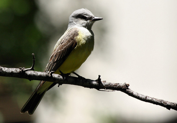 A western kingbird (Tyrannus verticalis) perched on a branch (2009_05_17_019847)
