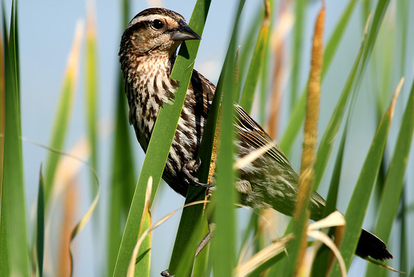 A female red-winged blackbird (Agelaius phoeniceus) perched in reeds (2009_05_31_020987)