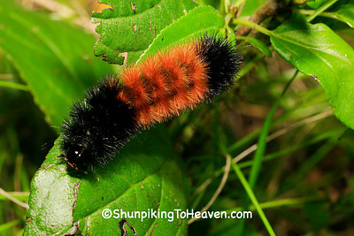 Woolly Bear Caterpillar, Dane County, Wisconsin