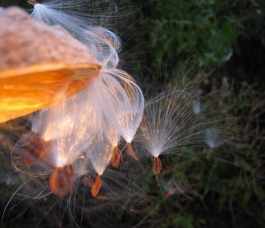 wisps, seed