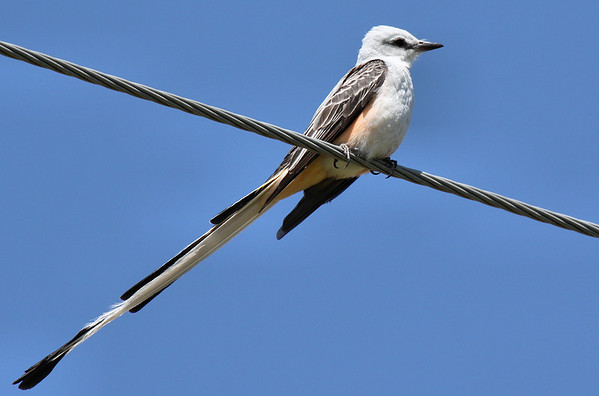 A scissor-tailed flycatcher (Tyrannus forficatus) perched on an overhead wire (2009_04_11_014965)