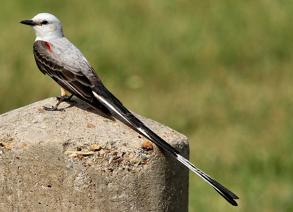 A scissor-tailed flycatcher (Tyrannus forficatus) standing on a concrete pillar (2009_06_03_021826)