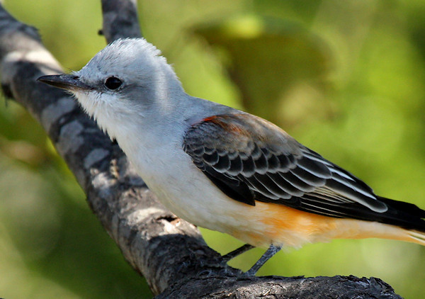 Close-up of a scissor-tailed flycatcher (Tyrannus forficatus) in a tree (2009_09_27_029672)