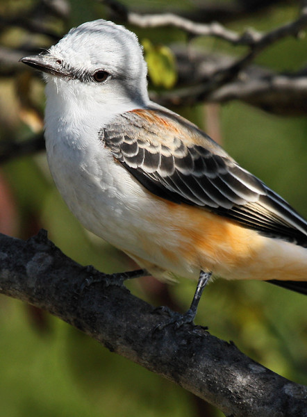 Close-up of a scissor-tailed flycatcher (Tyrannus forficatus) in a tree (2009_09_27_029692)